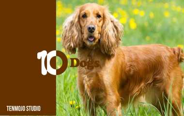 Cocker Spaniel | Don't even think of a guard dog - if you get burgled, he will play with the thief