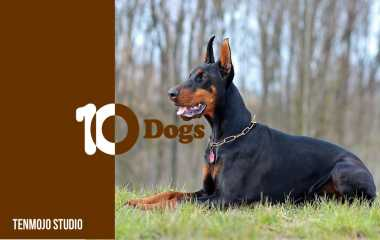 Dobermann | Learn about dog breeds that are smart, energetic and loyal