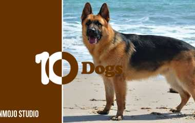 German Shepherd | Important information about the smartest dog in the world