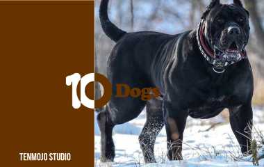 Presa Canario | Learn about the most fierce and hostile dogs